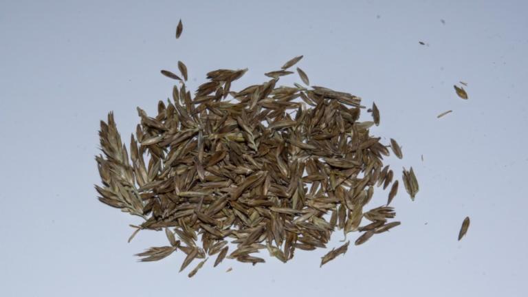 Semilla de Chusquea sp.