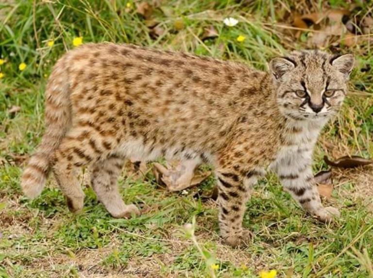 33 Leopardus guigna Raul Briones (Mediano)