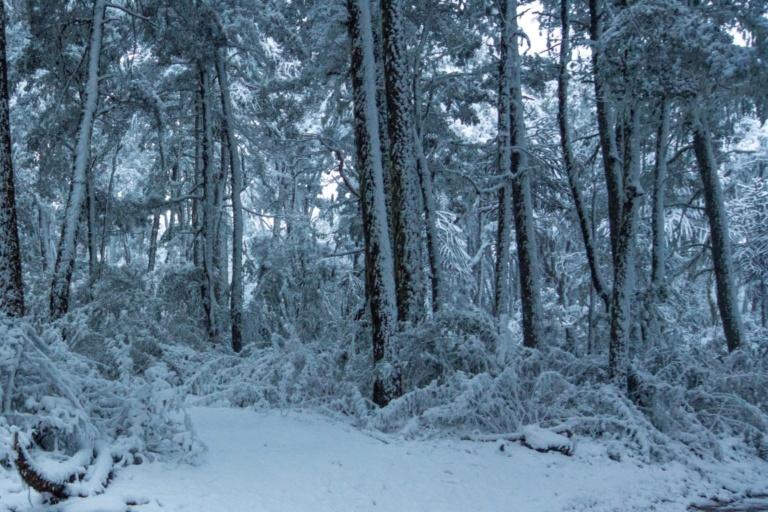 Foto 3 Chusquea bajo nieve (Mediano)